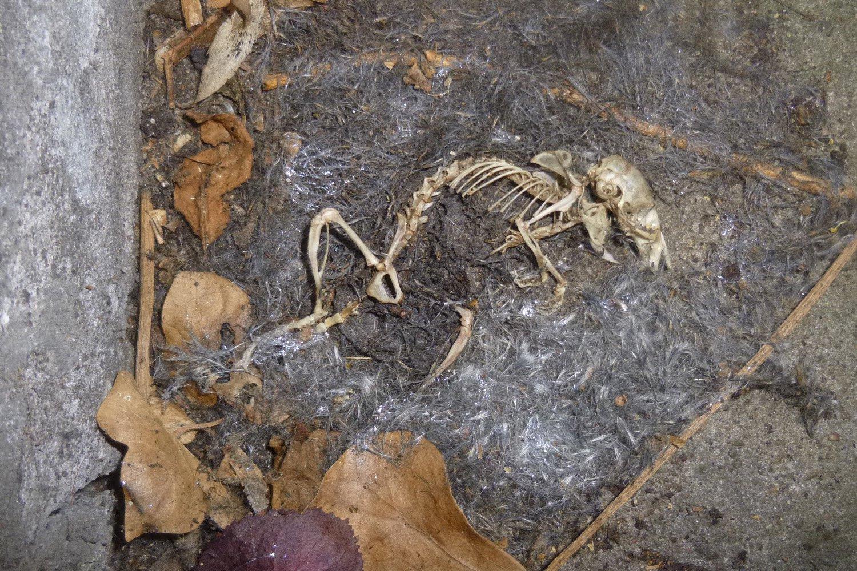 Skelett einer Maus
