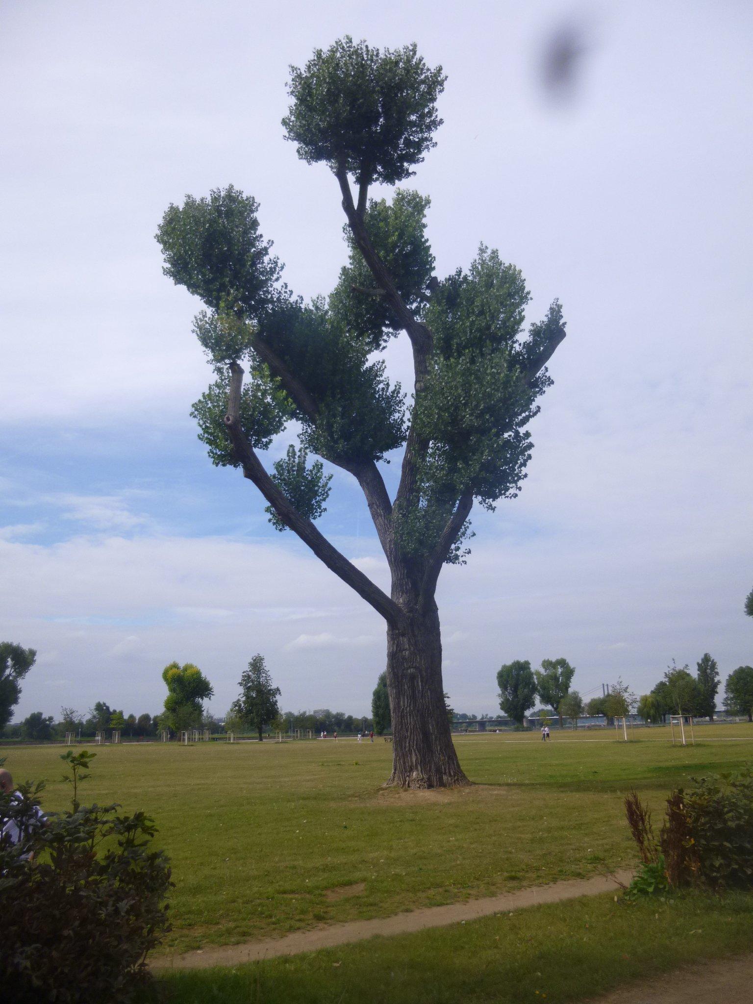 Baum - Rheimwiesen